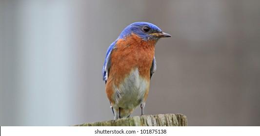 Little Bluebird resting on a post