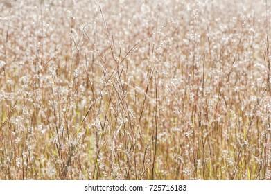 Little Bluestem in a Field