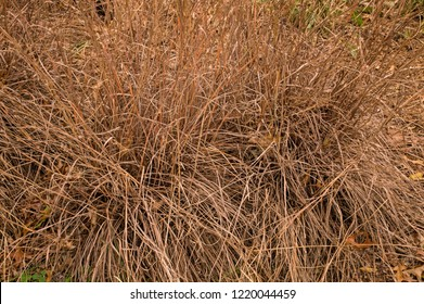 Little bluestem on a cloudy Autumn day. Also known as Schizachyrium scoparium or beard grass, it is a North American prairie grass native to most of the United States. In the fall it turns a wine red.