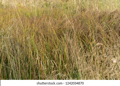 Little bluestem on a cloudy Autumn day. Also known as Schizachyrium scoparium or beard grass, it is a North American prairie grass native to most of the United States. In the fall it
