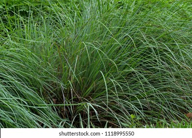 Little bluestem on a cloudy day after the rain. Also known as Schizachyrium scoparium or beard grass, is a North American prairie grass native to most of the United States.