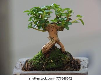 Similar Images Stock Photos Vectors Of Bonsai Tree Murraya