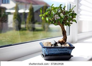 Little bonsai tree on the window