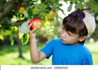 Little boy in cap picking apples, outdoor portrait