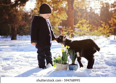 The little boy and cute goatling play in snow in the sunlight. The little child gives hand and bouquet of early spring flowers in basket to charming yeanling. Kids and animals nature classes.