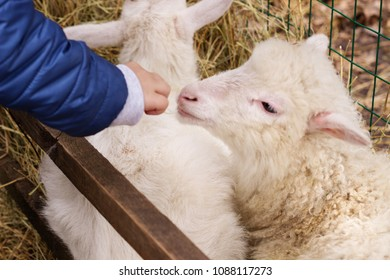 the little boy feeds the lamb at the petting zoo