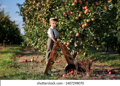 Little boy on a ladder picking apples in the orchard.