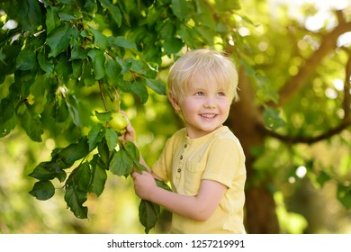 Little boy picking apples from tree. Harvesting in the domestic garden.
