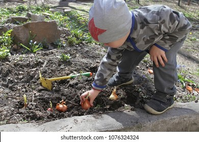 A little boy puts onions in the ground. The child takes part in spring field works helping plant plants.