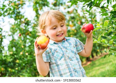 Little boy of two yers old staying in apple orchard and holding two apples in his hands. Child in the farm in summer enjoying fruits.