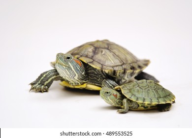 The little Brazilian Red eared slider turtles