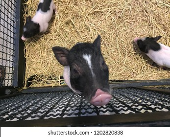 Little breeding pigs with black dot in the farm