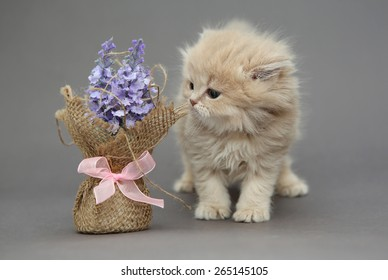 Little British kitten beige color and flower on a gray backgroun