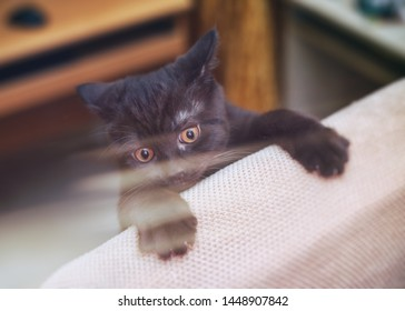 little british kitten plays on the chair and meows simultaneously, sharpens the claws on the chair