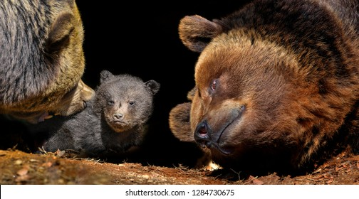 little brown bear and old bears