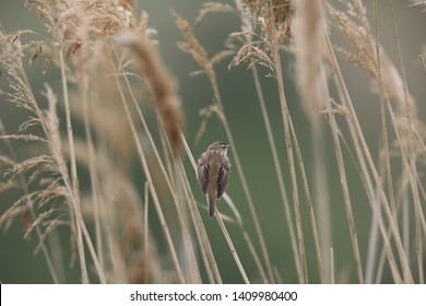 Little brown bird singing on reed . Warbler in natural environment.  Sedge Warbler,  Acrocephalus schoenobaenus