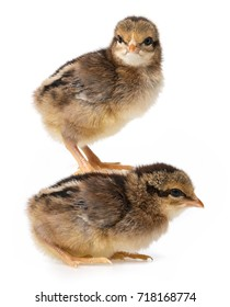 a little brown chickens isolated on a white