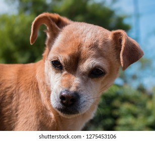 Little brown chihuahua dog