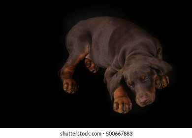 Little brown Doberman puppy sleeping sweetly on a black background, his head