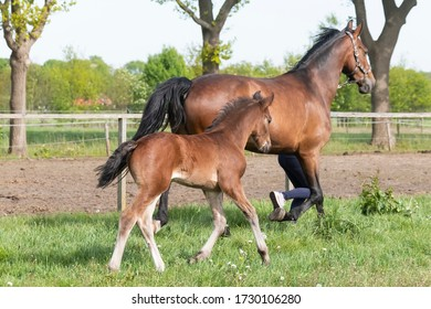 Little brown foal, runs next to the mother, one week old, during the day with a countryside landscape.