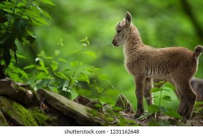 Little brown goat in the forest