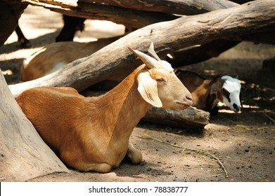 little brown goat in the zoo