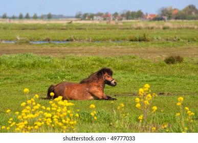 Little brown horse in Dutch summer meadows