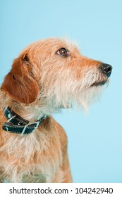 Little brown mixed breed dog isolated on light blue background. Studio shot.