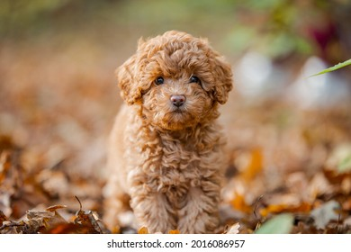 Little brown poodle. Small puppy of toypoodle breed. Cute dog and good friend. Dog games, dog training. Be my friend. One poodle in the forest.