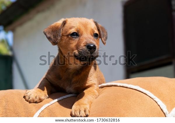 little-brown-puppy-lies-on-600w-17306328