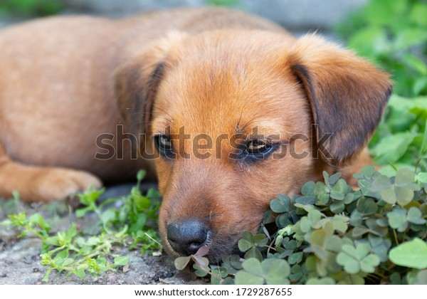 little-brown-puppy-lies-shade-600w-17292