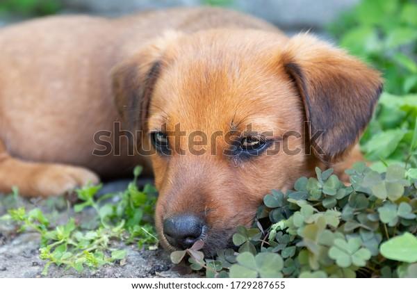 little-brown-puppy-lies-shade-600w-17292