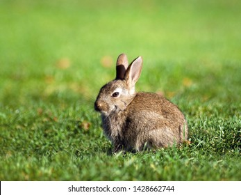 Little brown rabbit on green grass in summer day