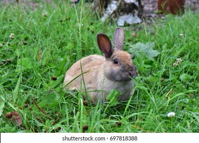 little brown rabbit on meadow, cute bunny wander around in wet grass