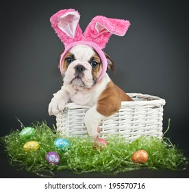 Little Bulldog puppy sitting in a basket wearing Easter bunny ears on a black background.