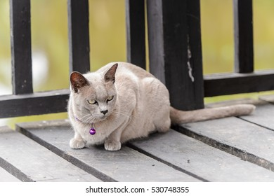 Little Burmese cat