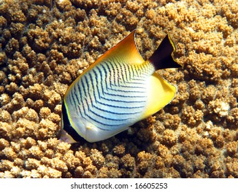 A little butterflyfish in the coral reef
