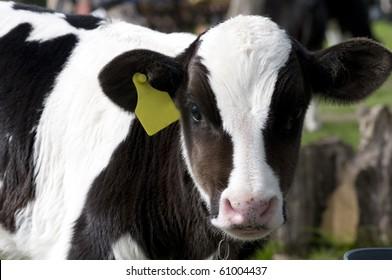 little calf