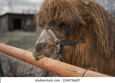 Little camel at small latvian zoo
