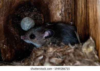 Little Canada, Minnesota.  Gervais Mi8ll Park. Deer mouse, Peromyscus maniculatus in a bird nesting box. Took over nesting box in late fall to keep warm.