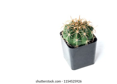 Little Cantus in pot on white background