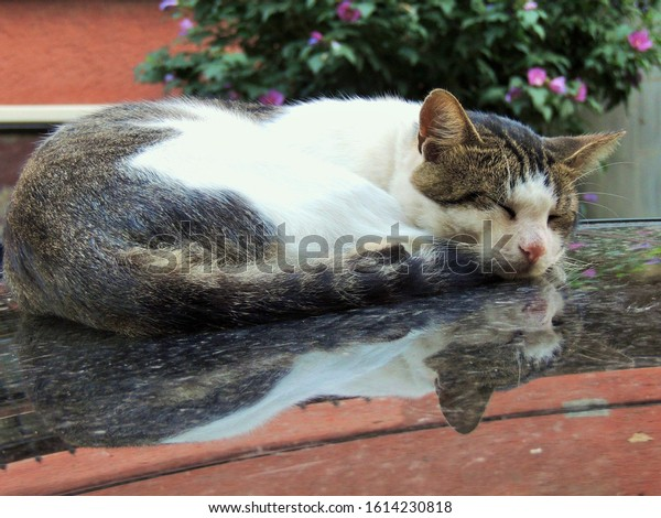 little-cat-sleeping-on-car-600w-16142308