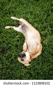 Little cheerful red-haired dog playing in the grass