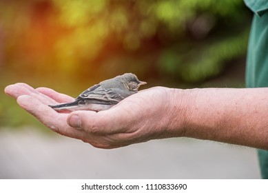 The little chick can't fly and needs help. The hand of a man holding a fallen out of the nest chick.