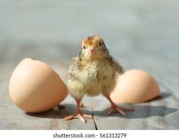 little chick. Funny hens kid