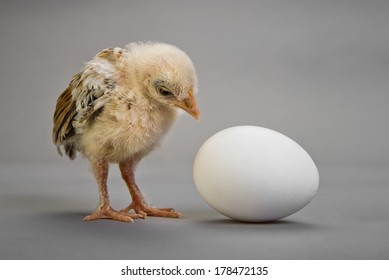 little chick and white egg on grey background