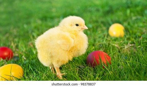 Little chicken with Easter eggs on the green grass