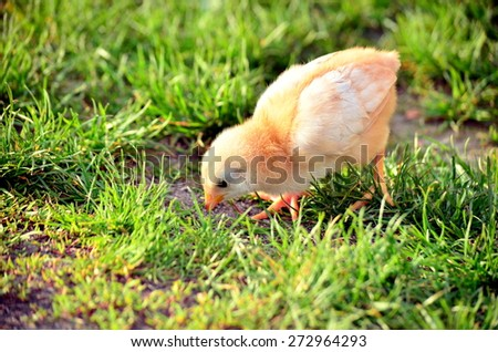 Little Chicken Eating Grass Stock Photo Edit Now 272964293