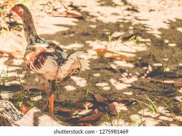 Little chicken walkin freely around on the farm