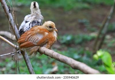 Little chicken-Epi-Vanuatu